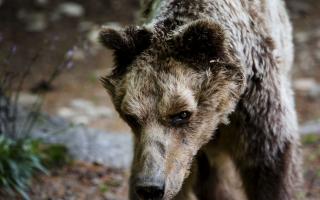 mitsos-the-bear-dies