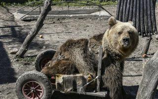 paralyzed-bear-usko-dies
