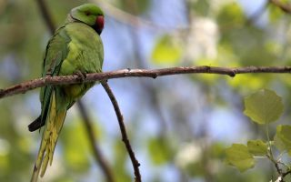 ornithological-society-carrying-out-parakeet-count