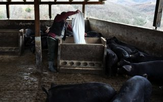 greece-reports-first-case-of-african-swine-fever