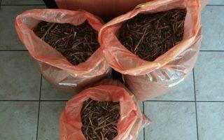 police-seize-total-of-3-700-opium-poppy-plants-in-viotia
