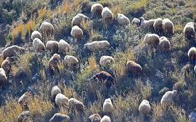 dozens-of-sheep-killed-by-lightning-near-trikala