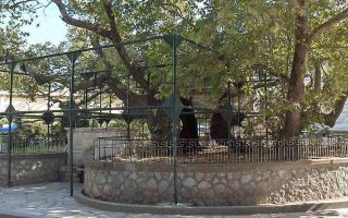 japanese-businessman-wants-to-save-the-tree-of-hippocrates