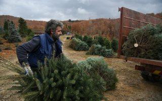 locked-down-greek-fir-tree-farmers-wait-for-christmas-miracle