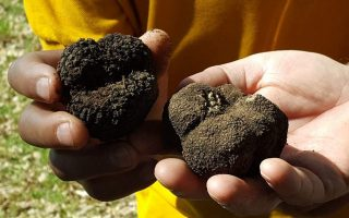 truffle-hunting-begins-in-meteora-in-march