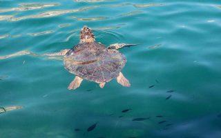 second-loggerhead-sea-turtle-found-dead-in-laconia