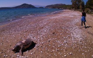 sea-turtle-meets-tragic-end-on-nafplio-beach