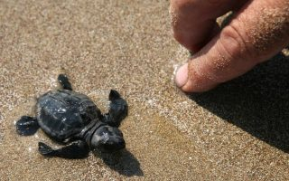 summer-s-first-turtle-hatchlings-appear-on-zakynthos