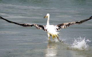 stranded-rosy-pelicans-transferred-by-plane-from-cyprus-to-lake-kerkini