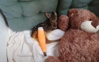 baby-roe-deer-with-broken-leg-found-in-northern-greek-forest