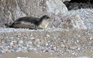 outrage-in-greece-at-killing-of-kostis-a-rare-monk-seal-rescued-by-fishermen