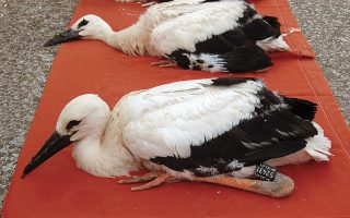 white-stork-chicks-ringed
