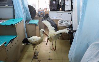 disoriented-by-wildfires-migrating-storks-die-crossing-greece